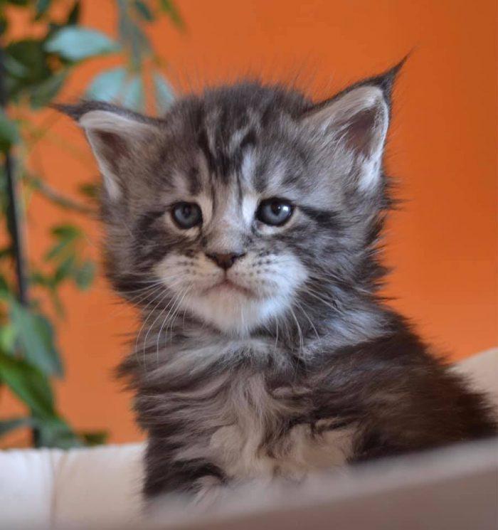 купить котенка мейн-кун