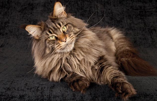 Особенности поведения кошек Мейн-кун