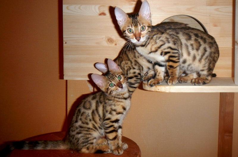 Создание естественной среды обитания для Бенгальской кошки