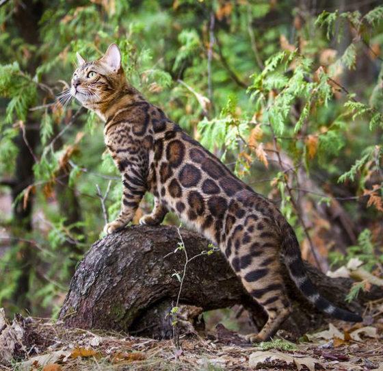 Можно ли отпускать бенгальскую кошку на улицу?