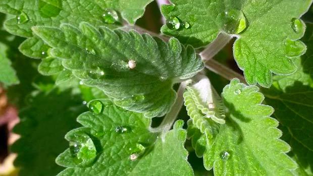 Растение кошачьей мяты (Nepeta Cataria)