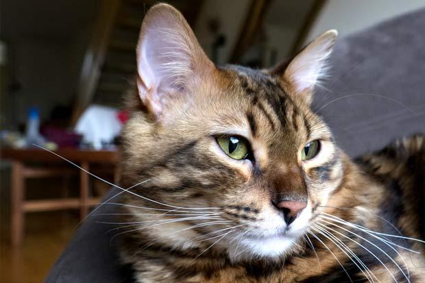 Длинношерстная Бенгальская Кошка