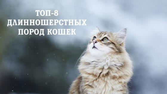 Топ-8 длинношерстных пород кошек
