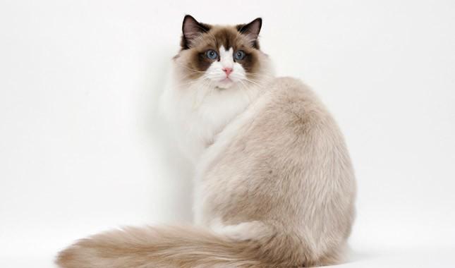 Рэгдолл является десятой самой дорогой породой кошек в мире