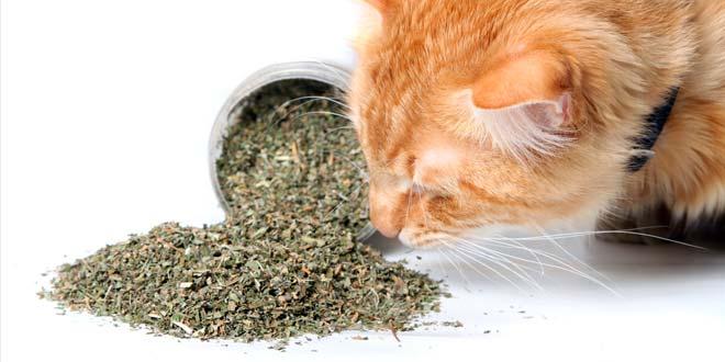 Как давать кошке кошачью мяту