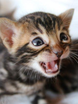 Бенгальские котята часто мяукают?