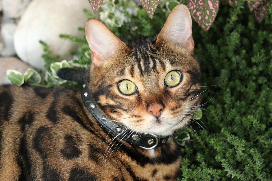 Как отличить бенгальскую кошку от других