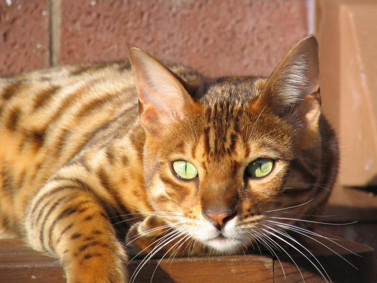 глиттер у бенгальского кота
