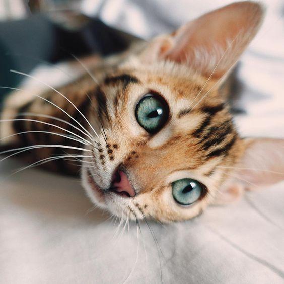 цвет глаз бенгальской кошки