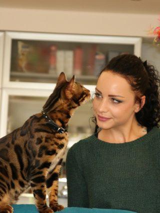 Как научить бенгальскую кошку к трюкам