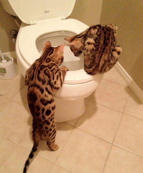Как приручить бенгальскую кошку к унитазу