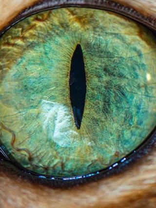 Меняют ли бенгальские кошки цвет глаз?