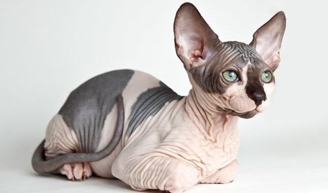 кошки сфинксы гипоаллергенны