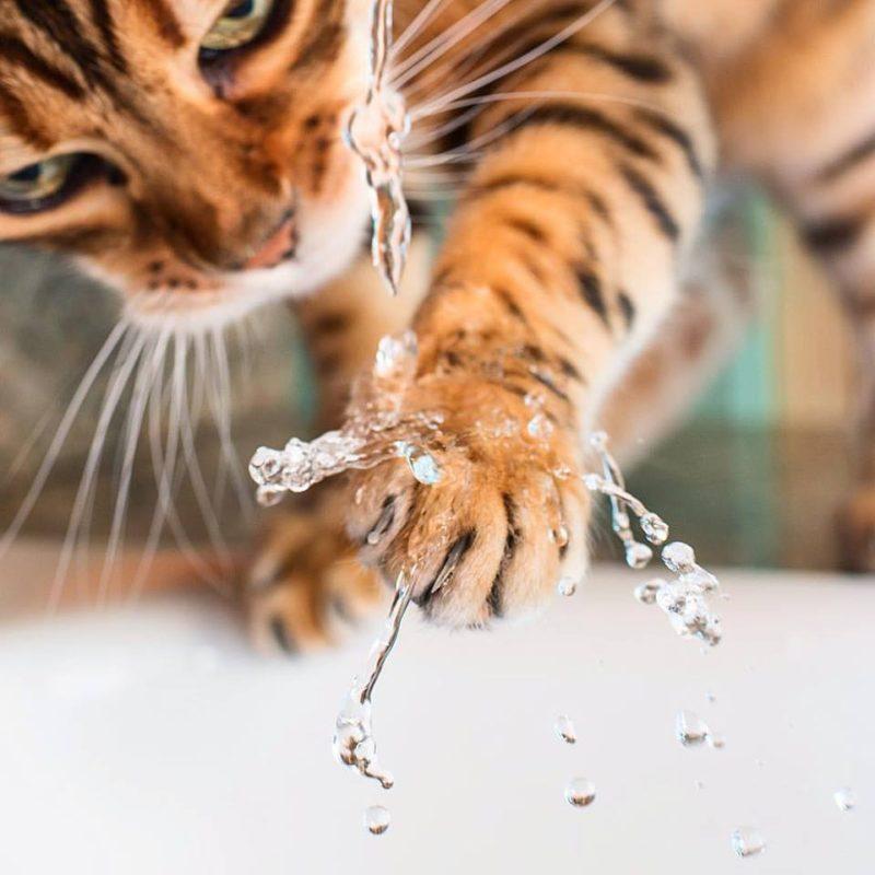 Бенгальские кошки любят воду?