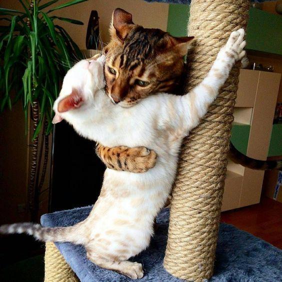Советы по жизни с бенгальским котом