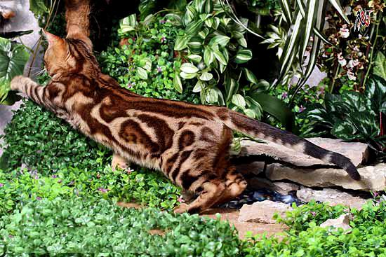 Мраморный окрас бенгальской кошки