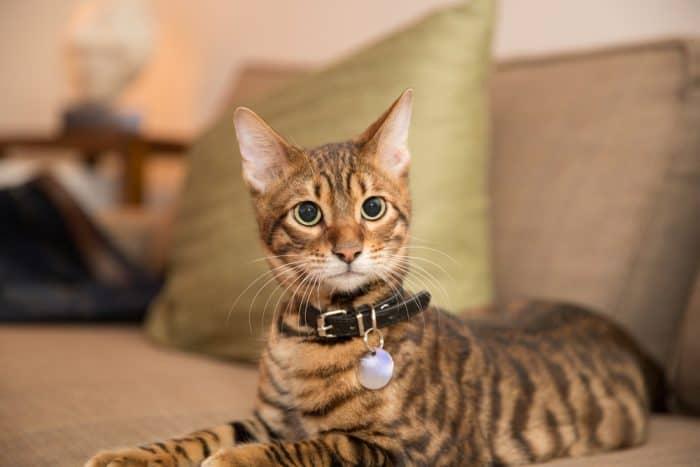 Бенгальская кошка опасна?