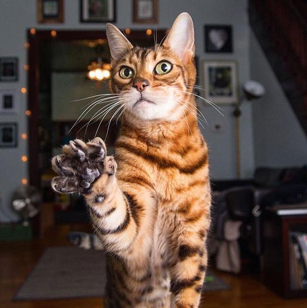 опасна ли бенгальская кошка?
