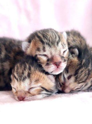 Как стать заводчиком Бенгальских кошек?