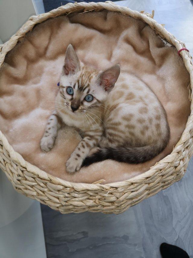 Когда бенгальские котята меняют окрас