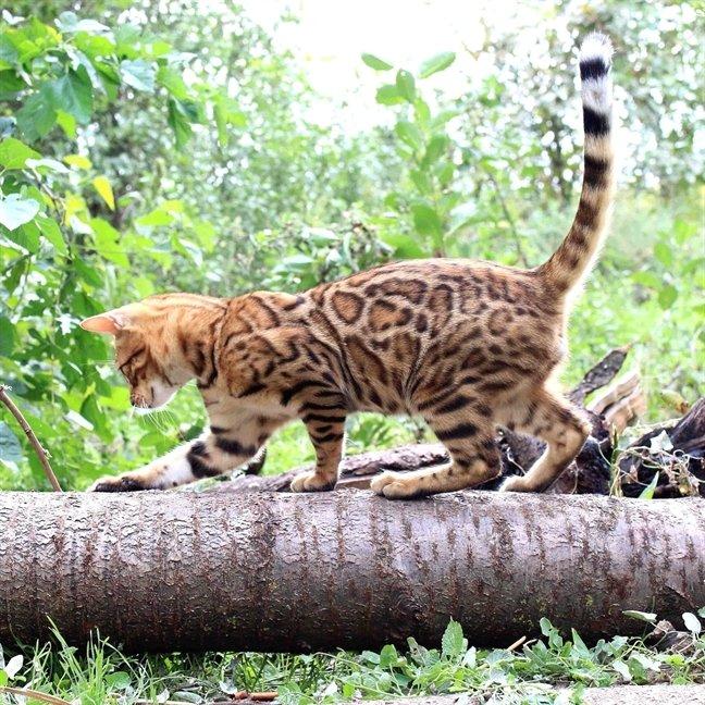 Бенгальские кошки любят быть активными