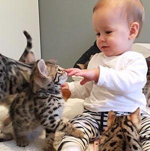 Бенгальские кошки домашние?