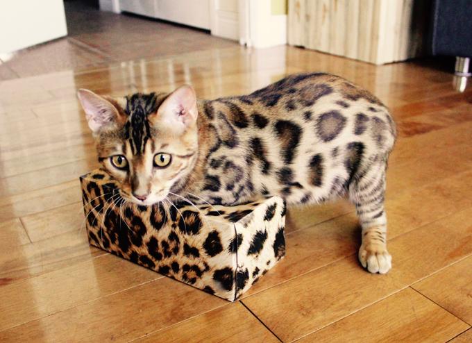 Как бенгальские котята меняют окрас