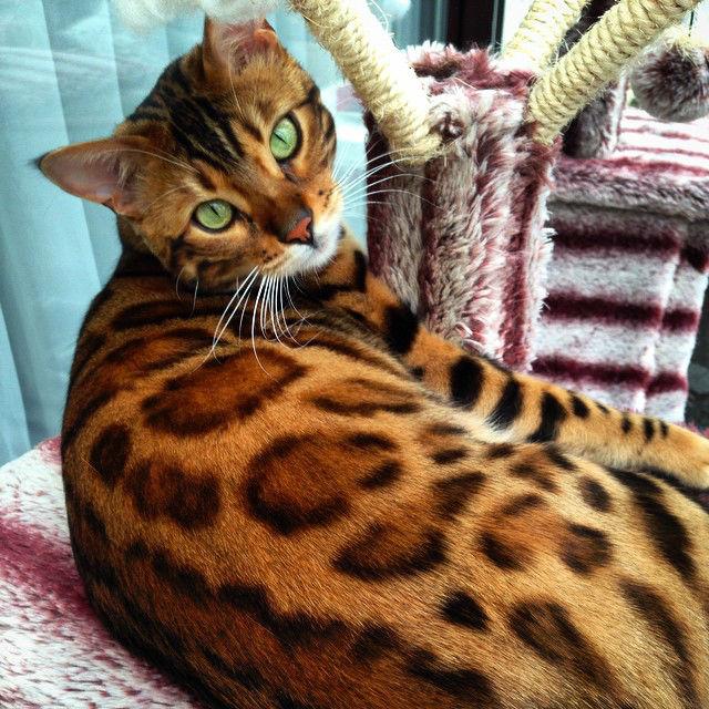 Бенгальская кошка не линяет