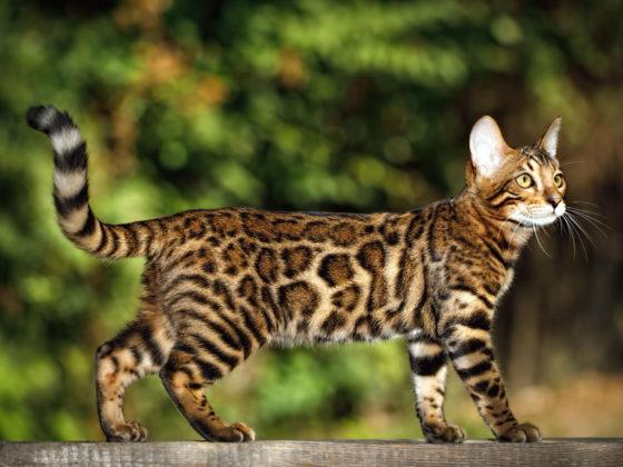 Бенгальские кошки линяют?