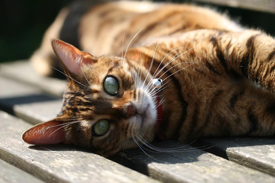 Когда у бенгальских кошек начинается течка?
