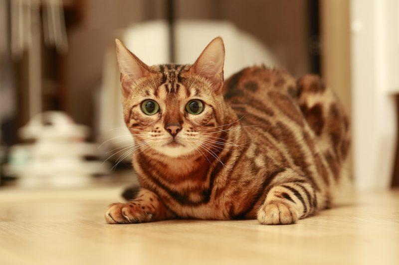 Когда у бенгальских кошек начинается течка каждый год?