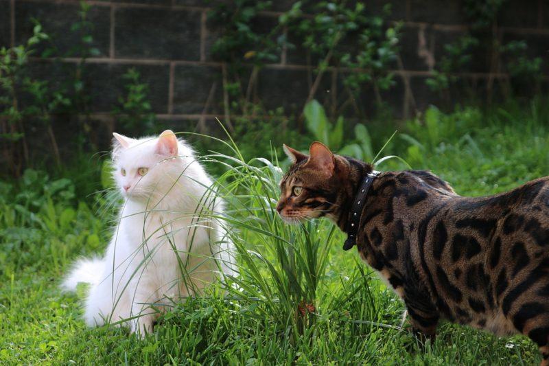 Что делать, когда у бенгальской кошки начинается течка