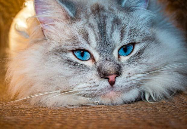 Средняя продолжительность жизни кошек в зависимости от их породы
