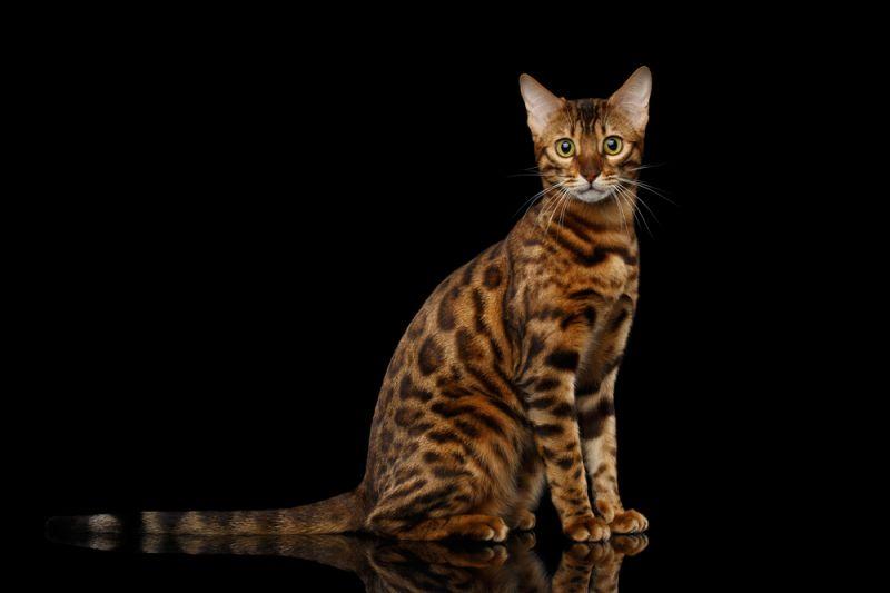 Бенгальская кошка подходит мне?