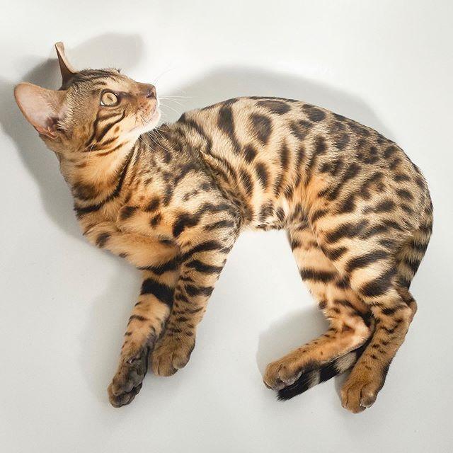 Почему кусаются бенгальские котята?