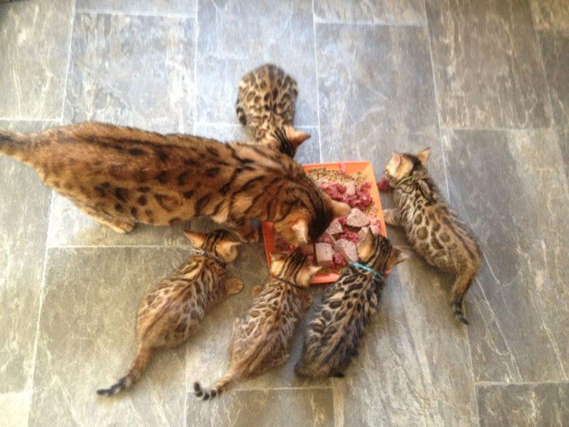 Сколько котят рождается у бенгальских кошек?