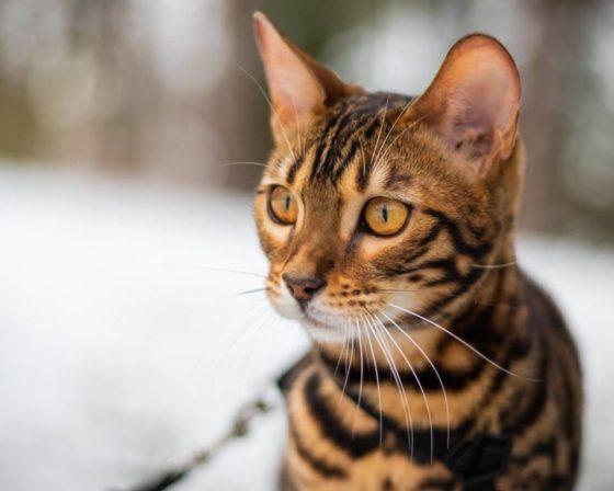Насколько умна бенгальская кошка?