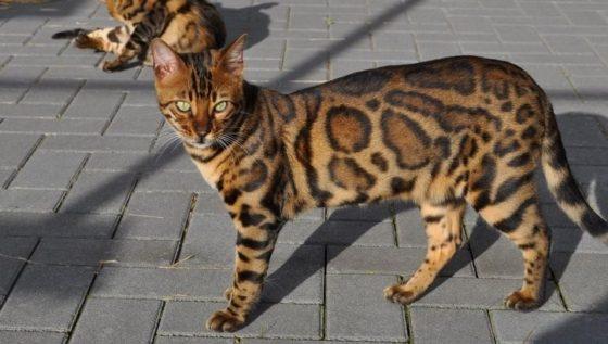 Бенгальская кошка похожа на собаку?