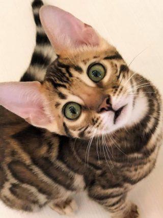 Бенгальская кошка - это домашняя кошка?