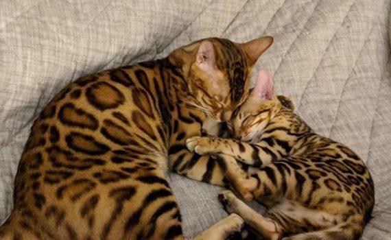 Большинство бенгальских кошек мурлыкают
