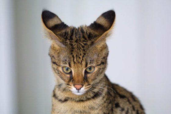 Бенгальская кошка - это то же самое, что Саванна?