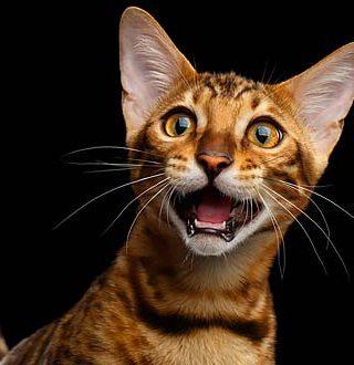 Почему воют бенгальские кошки?
