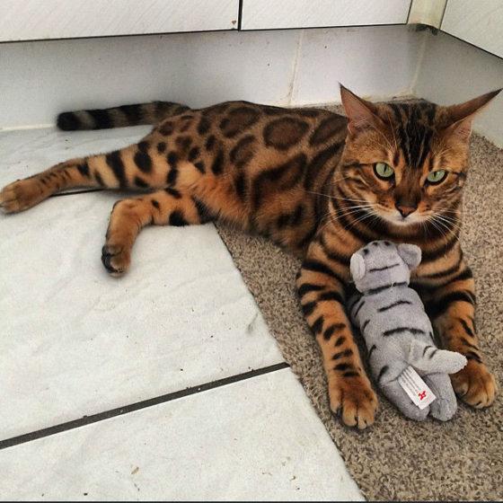 Что такое личность бенгальских кошек?