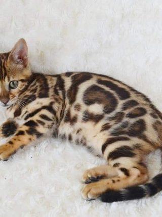 Почему Бенгальские котята кусаются?