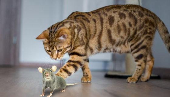 Едят ли бенгальские кошки мышей?