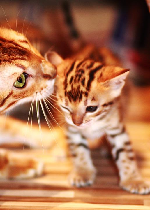 мурлыкают ли бенгальские котята?