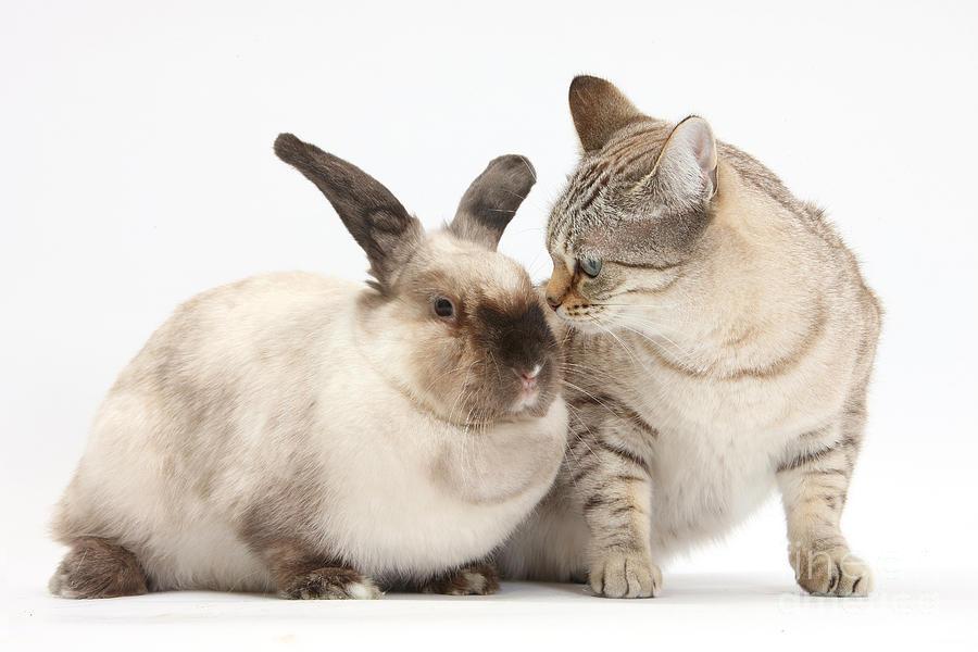 Бенгальские кошки ладят с кроликами?