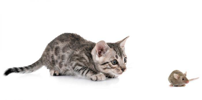 Что любят есть бенгальские котята?