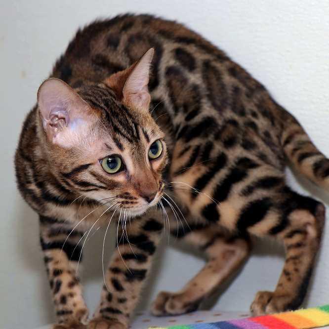 личность бенгальских кошек