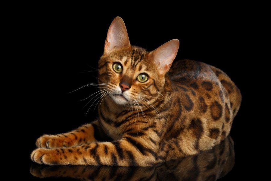 Сколько весят бенгальские кошки?